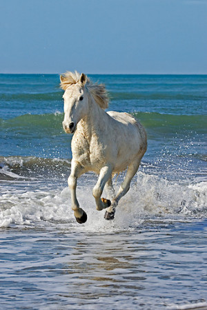 White Horses Galloping On Beach Horse galloping on beach