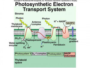 Electron Transport Chain Photosynthesis