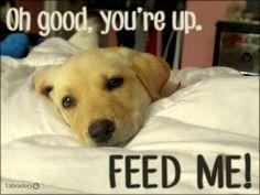 funny labrador quotes google search more labrador retriever dogs alarm ...