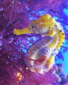 Beautiful sea horse. They mate for life and enact a daily courtship ...