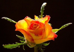 Roses symbolize love and affection. They are known for their exotic ...