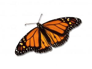 Monarch Butterfly Wallpaper 8761 Hd Wallpapers