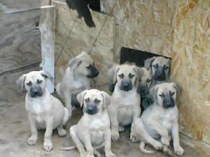 ... Black Mouth Cur, Bob Fogel Blackmouth Curs, Dog Breed Info Center