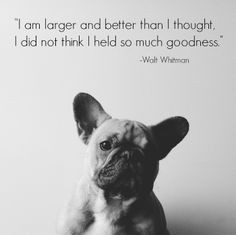 french bulldog puppy and walt whitman quote more french bulldogs ...