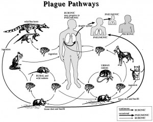 History, Home Remedies, Bubonic Plague, Black Death, Cycle Of Bubonic ...