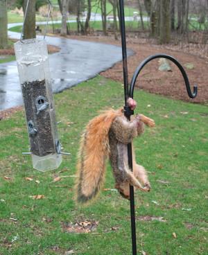 Squirrel gone nuts ( i.imgur.com )
