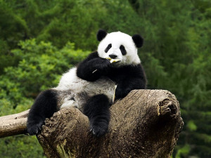 : Funny Panda Wallpapers, Funny Panda DesktopWallpapers, Funny Panda ...