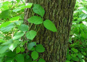Common Name: Poison Ivy ,