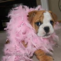 ... care english bulldog dressed up like a veterinarian giving check up