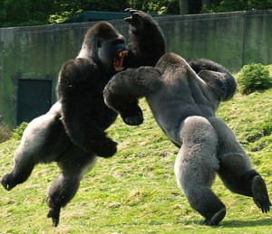 Related Epic Gorilla Fight