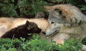 Help Stop the Senseless Killing of Wolves in the Boreal Fore ...