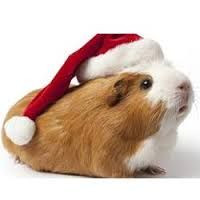 pig funny quotes christmas google search more pigs boards guinea pigs ...
