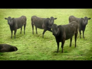 Funny Cow Standing In Grass…