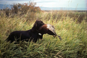 Dog retrieving a cock pheasant
