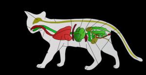Description Scheme cat anatomy-lv.svg