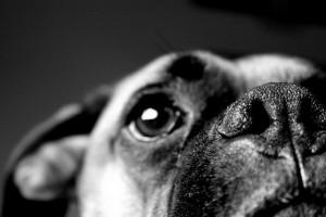 Boo, the Boxer Dog