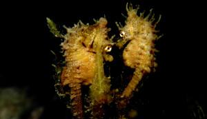 The Truth About Seahorse Monogamy   FusedJaw: Seahorses, Pipefish ...