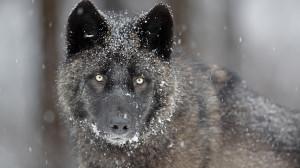 Gray Wolf - Wallpaper #32760