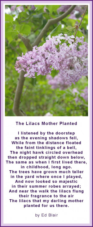 The Lilacs My Mother Planted - Poem