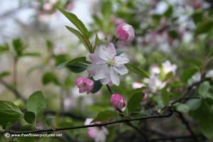 Plum Blossom Resolution Pixels