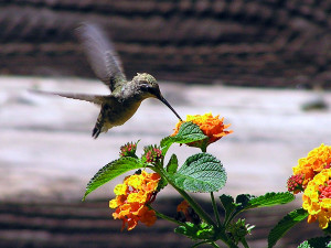 """In the article, """" The Secret Lives of Hummingbirds """" (Fall, 2012 ..."""