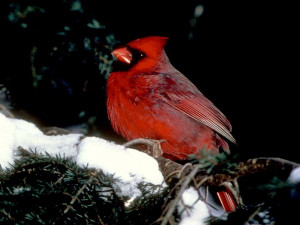 Noted for their bright red plumage, cardinals have about two dozen ...