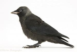 WP25451 Baby Jackdaw ( Corvus monedula ).