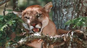 cougar29nw1.JPG