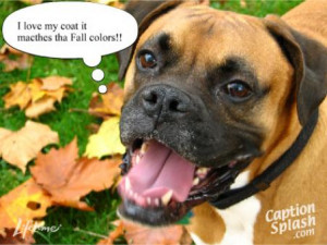 Funny boxer dog pictures 3 Funny Boxer Dog Quotes