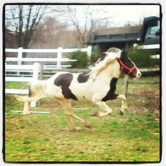 funny horse quote, paint horse, gallop, equine photography