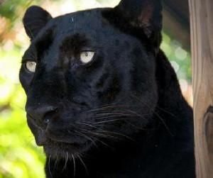 Black Panthers Louisiana