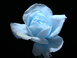 Light Blue Rose Flower Wallpaper