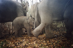 herd of Asian elephants caught on camera trap. Photo by: DNP ...