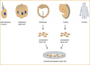 Articles Embryonic Stem Cells