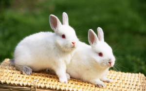 rabbit pet