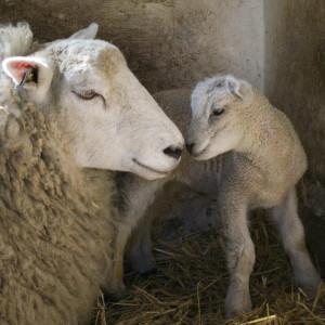 Mama Sheep and Baby Lamb