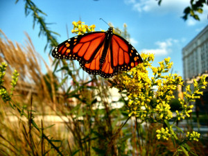 ... Amp: Images of Monarch Butterfly Migration in 2008 in Milwaukee