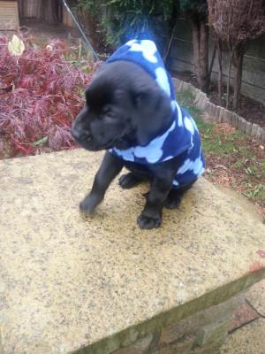 11 Week Old Black Lab Puppy