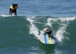 ... wave during the Surf City Surf Dog contest in Huntington Beach