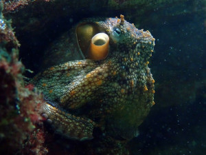 Do octopuses feel pain as deeply as mammals?