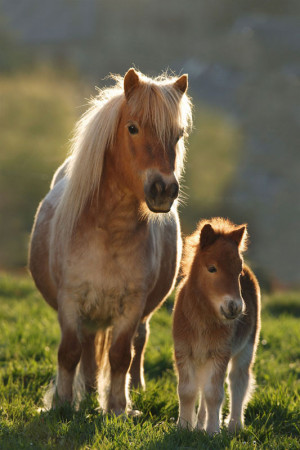 Mini Puzzles Horses - Shetland Baby Horses Jigsaw Puzzle