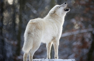 An Arctic wolf howls in Wolfspark Werner Freund, on January 24, 2013 ...