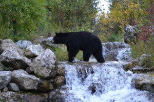 Laurance Rockefeller Preserve Photo Black bear crossing waterfall