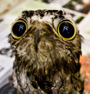 Potoo birds always look shocked or like they just saw something ...