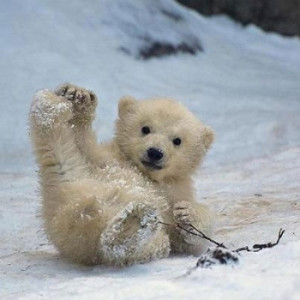 10 Precious Pictures of Baby Polar Bears