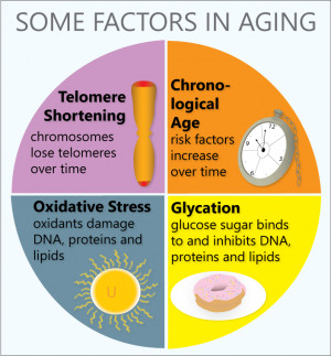 How big is the role of telomeres in aging?