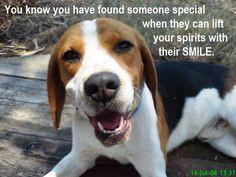 Beagle smile beauti beagl, beagl smile