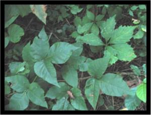poison-ivy-1.jpg