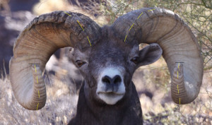 How to Field Judge Desert Bighorn Sheep Part 1