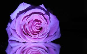 Purple rose 1920x1200 wallpaper